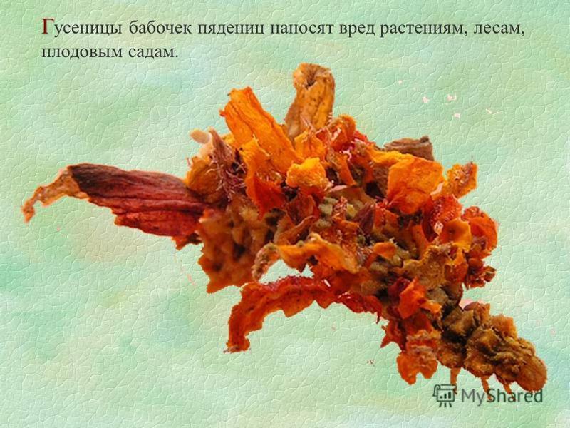 Г Г усеницы бабочек пядениц наносят вред растениям, лесам, плодовым садам.