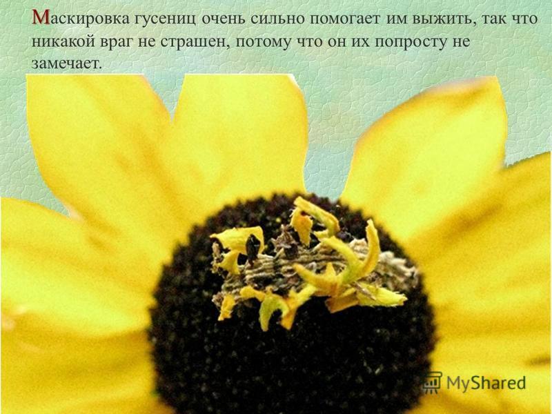 М М аскировка гусениц очень сильно помогает им выжить, так что никакой враг не страшен, потому что он их попросту не замечает.