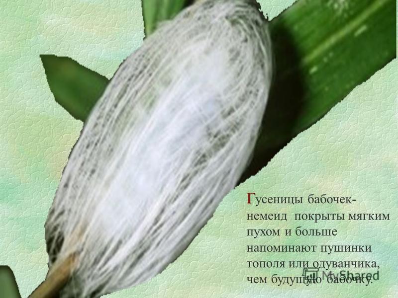 Г Г усеницы бабочек- немеид покрыты мягким пухом и больше напоминают пушинки тополя или одуванчика, чем будущую бабочку.