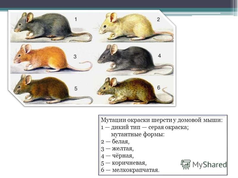 Мутации окраски шерсти у домовой мыши: 1 дикий тип серая окраска; мутантные формы: 2 белая, 3 желтая, 4 чёрная, 5 коричневая, 6 мелкокрапчатая.