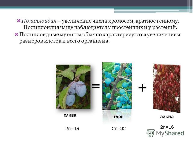 Полиплоидия – увеличение числа хромосом, кратное генному. Полиплоидия чаще наблюдается у простейших и у растений. Полиплоидные мутанты обычно характеризуются увеличением размеров клеток и всего организма. = + слива терналыча 2n=32 2n=16 2n=48