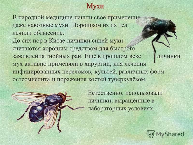 Мухи В народной медицине нашли своё применение даже навозные мухи. Порошком из их тел лечили облысение. До сих пор в Китае личинки синей мухи считаются хорошим средством для быстрого заживления гнойных ран. Ещё в прошлом веке личинки мух активно прим