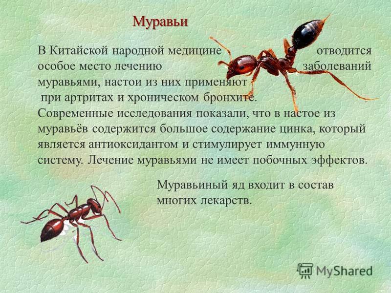 Муравьи В Китайской народной медицине отводится особое место лечению заболеваний муравьями, настои из них применяют при артритах и хроническом бронхите. Современные исследования показали, что в настое из муравьёв содержится большое содержание цинка,