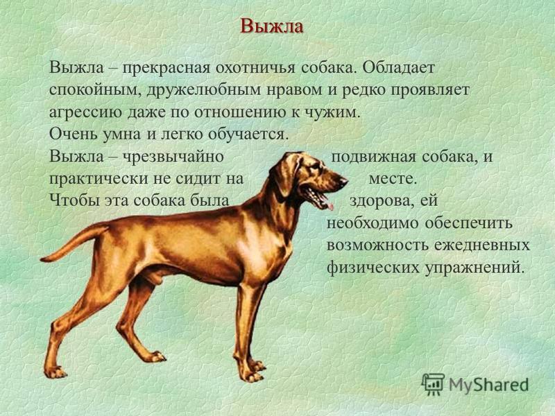 Выжла Выжла – прекрасная охотничья собака. Обладает спокойным, дружелюбным нравом и редко проявляет агрессию даже по отношению к чужим. Очень умна и легко обучается. Выжла – чрезвычайно подвижная собака, и практически не сидит на месте. Чтобы эта соб