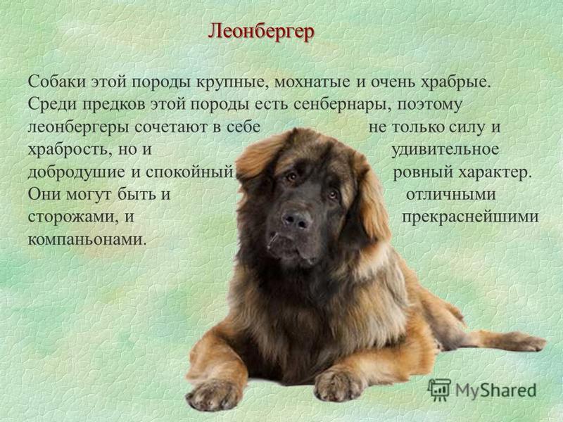 Леонбергер Собаки этой породы крупные, мохнатые и очень храбрые. Среди предков этой породы есть сенбернары, поэтому леонбергеры сочетают в себе не только силу и храбрость, но и удивительное добродушие и спокойный, ровный характер. Они могут быть и от