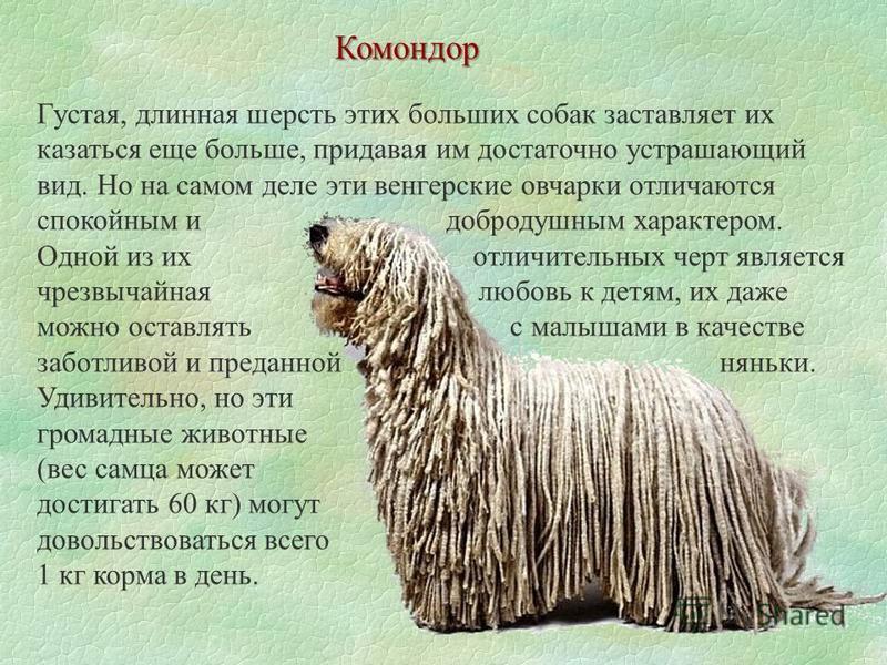 Комондор Густая, длинная шерсть этих больших собак заставляет их казаться еще больше, придавая им достаточно устрашающий вид. Но на самом деле эти венгерские овчарки отличаются спокойным и добродушным характером. Одной из их отличительных черт являет