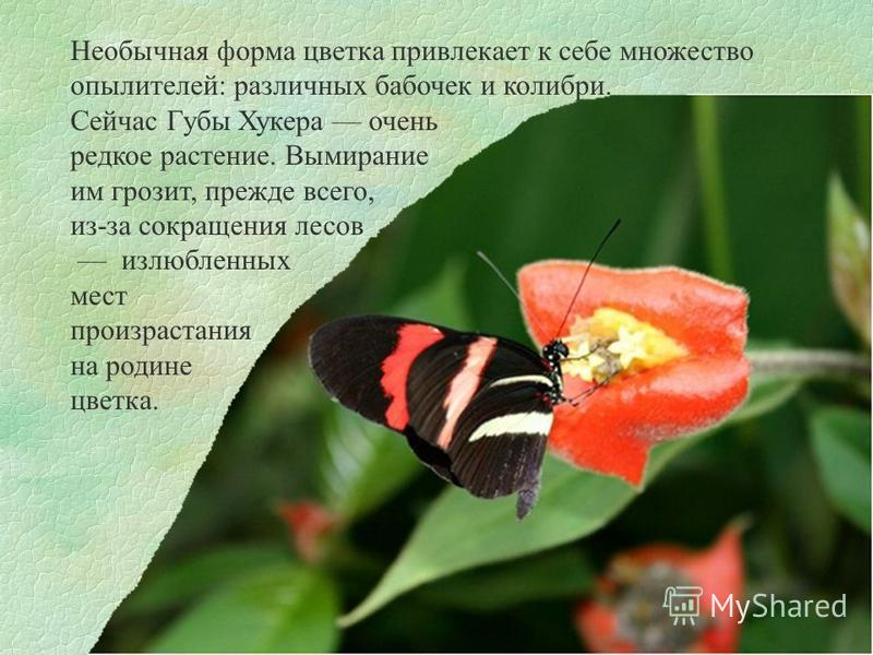 Необычная форма цветка привлекает к себе множество опылителей: различных бабочек и колибри. Сейчас Губы Хукера очень редкое растение. Вымирание им грозит, прежде всего, из-за сокращения лесов излюбленных мест произрастания на родине цветка.