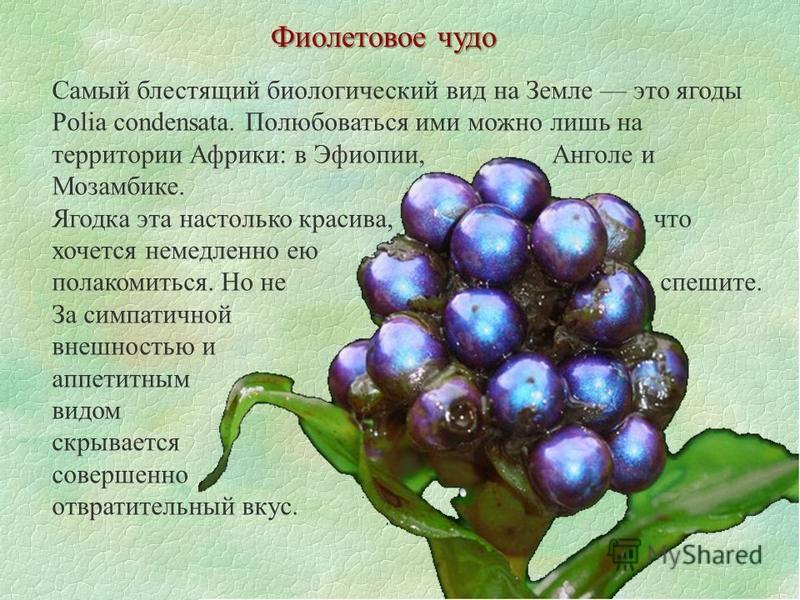 Фиолетовое чудо Самый блестящий биологический вид на Земле это ягоды Polia condensata. Полюбоваться ими можно лишь на территории Африки: в Эфиопии, Анголе и Мозамбике. Ягодка эта настолько красива, что хочется немедленно ею полакомиться. Но не спешит