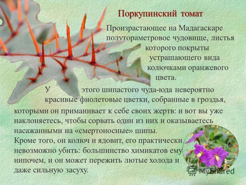 Поркупинский томат Произрастающее на Мадагаскаре полутораметровое чудовище, листья которого покрыты устрашающего вида колючками оранжевого цвета. У этого шипастого чуда-юда невероятно красивые фиолетовые цветки, собранные в гроздья, которыми он прима