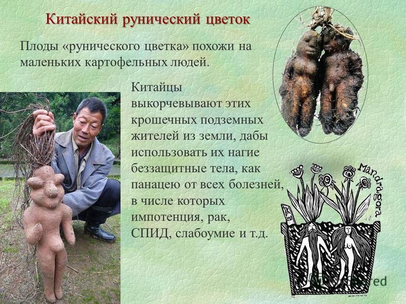 Китайский рунический цветок Плоды «рунического цветка» похожи на маленьких картофельных людей. Китайцы выкорчевывают этих крошечных подземных жителей из земли, дабы использовать их нагие беззащитные тела, как панацею от всех болезней, в числе которых