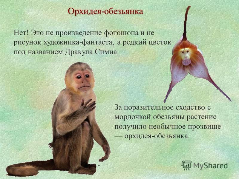Орхидея-обезьянка Нет! Это не произведение фотошопа и не рисунок художника-фантаста, а редкий цветок под названием Дракула Симиа. За поразительное сходство с мордочкой обезьяны растение получило необычное прозвище орхидея-обезьянка.