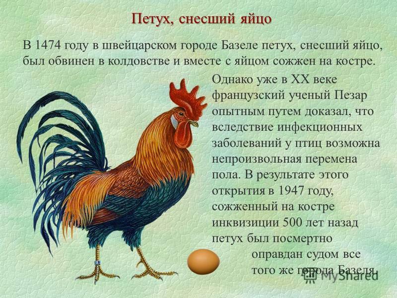 В 1474 году в швейцарском городе Базеле петух, снесший яйцо, был обвинен в колдовстве и вместе с яйцом сожжен на костре. Петух, снесший яйцо Однако уже в ХХ веке французский ученый Пезар опытным путем доказал, что вследствие инфекционных заболеваний