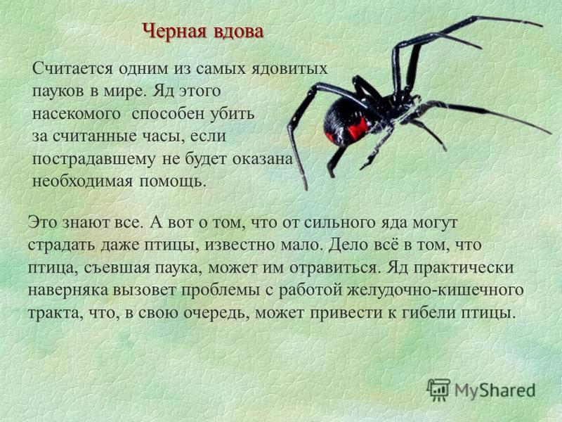 Считается одним из самых ядовитых пауков в мире. Яд этого насекомого способен убить за считанные часы, если пострадавшему не будет оказана необходимая помощь. Черная вдова Это знают все. А вот о том, что от сильного яда могут страдать даже птицы, изв
