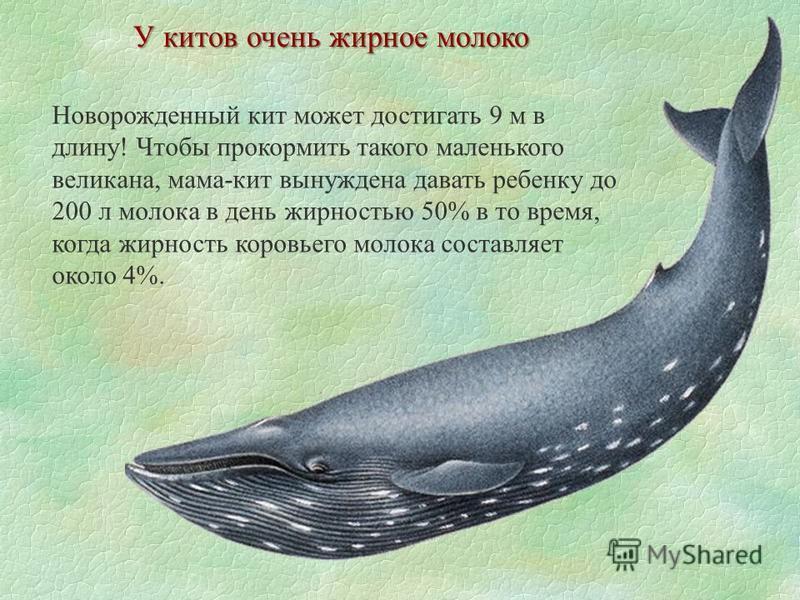 У китов очень жирное молоко Новорожденный кит может достигать 9 м в длину! Чтобы прокормить такого маленького великана, мама-кит вынуждена давать ребенку до 200 л молока в день жирностью 50% в то время, когда жирность коровьего молока составляет окол