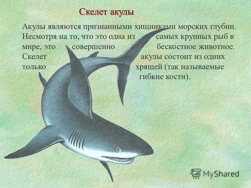 Скелет акулы Акулы являются признанными хищниками морских глубин. Несмотря на то, что это одна из самых крупных рыб в мире, это совершенно бескостное животное. Скелет акулы состоит из одних только хрящей (так называемые гибкие кости).