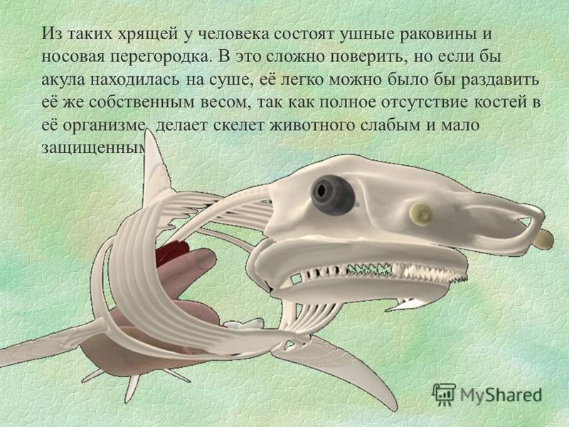 Из таких хрящей у человека состоят ушные раковины и носовая перегородка. В это сложно поверить, но если бы акула находилась на суше, её легко можно было бы раздавить её же собственным весом, так как полное отсутствие костей в её организме, делает ске