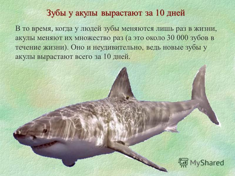 Зубы у акулы вырастают за 10 дней В то время, когда у людей зубы меняются лишь раз в жизни, акулы меняют их множество раз (а это около 30 000 зубов в течение жизни). Оно и неудивительно, ведь новые зубы у акулы вырастают всего за 10 дней.