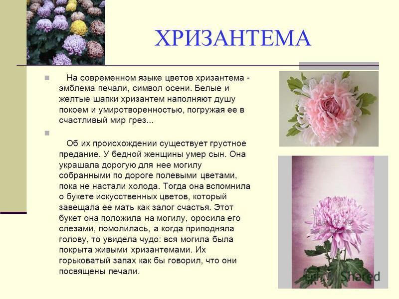 ХРИЗАНТЕМА На современном языке цветов хризантема - эмблема печали, символ осени. Белые и желтые шапки хризантем наполняют душу покоем и умиротворенностью, погружая ее в счастливый мир грез... Об их происхождении существует грустное предание. У бедно