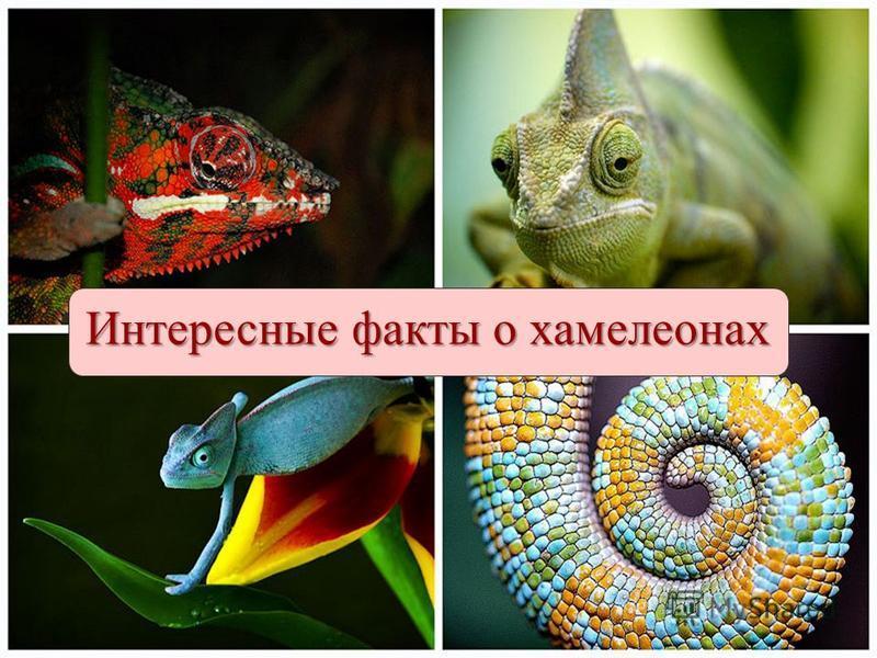 Интересные факты о хамелеонах