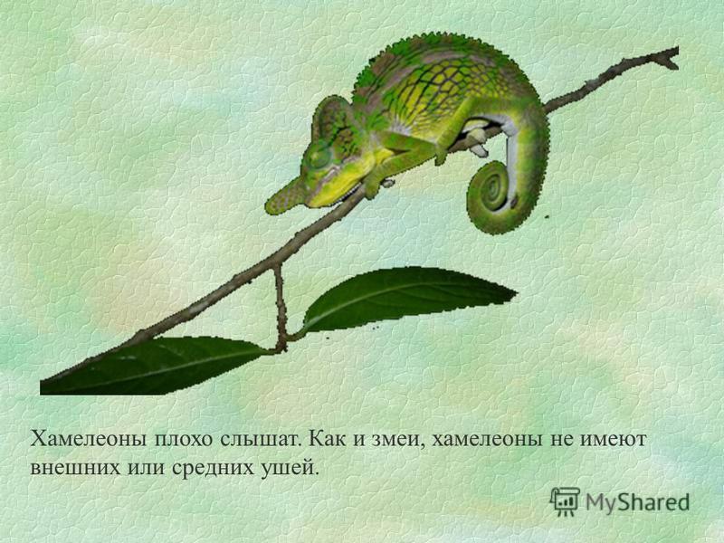 Хамелеоны плохо слышат. Как и змеи, хамелеоны не имеют внешних или средних ушей.