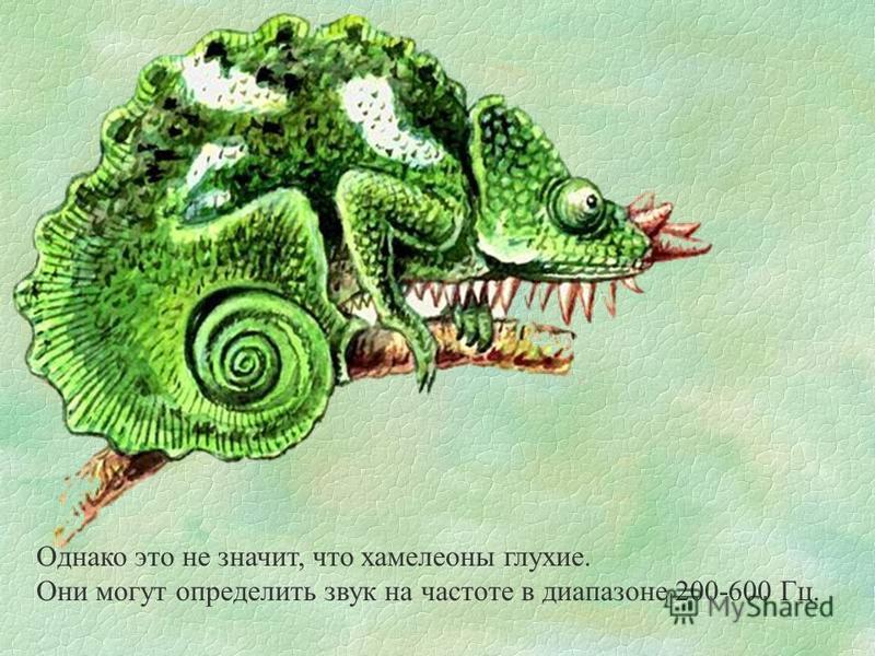Однако это не значит, что хамелеоны глухие. Они могут определить звук на частоте в диапазоне 200-600 Гц.