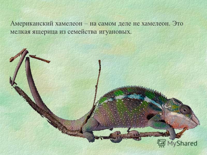 Американский хамелеон – на самом деле не хамелеон. Это мелкая ящерица из семейства игуановых.