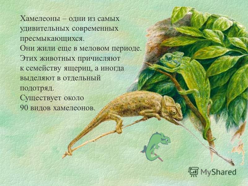 Хамелеоны – одни из самых удивительных современных пресмыкающихся. Они жили еще в меловом периоде. Этих животных причисляют к семейству ящериц, а иногда выделяют в отдельный подотряд. Существует около 90 видов хамелеонов.