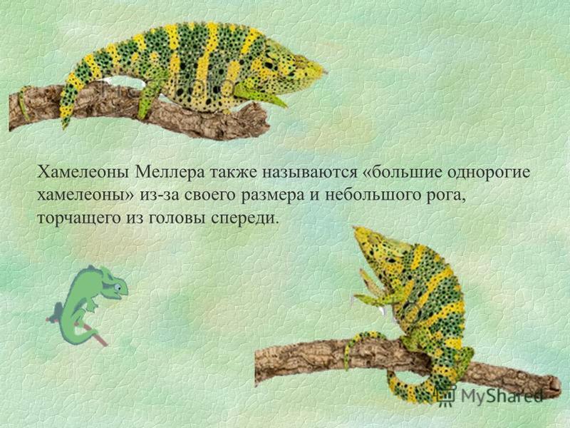 Хамелеоны Меллера также называются «большие однорогие хамелеоны» из-за своего размера и небольшого рога, торчащего из головы спереди.