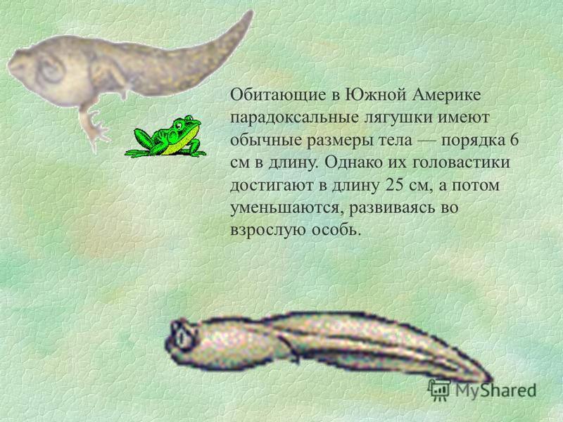 Обитающие в Южной Америке парадоксальные лягушки имеют обычные размеры тела порядка 6 см в длину. Однако их головастики достигают в длину 25 см, а потом уменьшаются, развиваясь во взрослую особь.