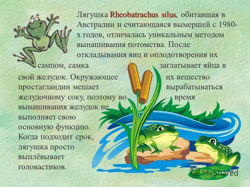 Rheobatrachus silus Лягушка Rheobatrachus silus, обитавшая в Австралии и считающаяся вымершей с 1980- х годов, отличалась уникальным методом вынашивания потомства. После откладывания яиц и оплодотворения их самцом, самка заглатывает яйца в свой желуд