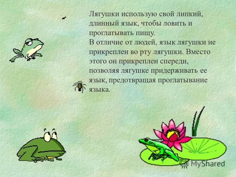 Лягушки использую свой липкий, длинный язык, чтобы ловить и проглатывать пищу. В отличие от людей, язык лягушки не прикреплен во рту лягушки. Вместо этого он прикреплен спереди, позволяя лягушке придерживать ее язык, предотвращая проглатывание языка.