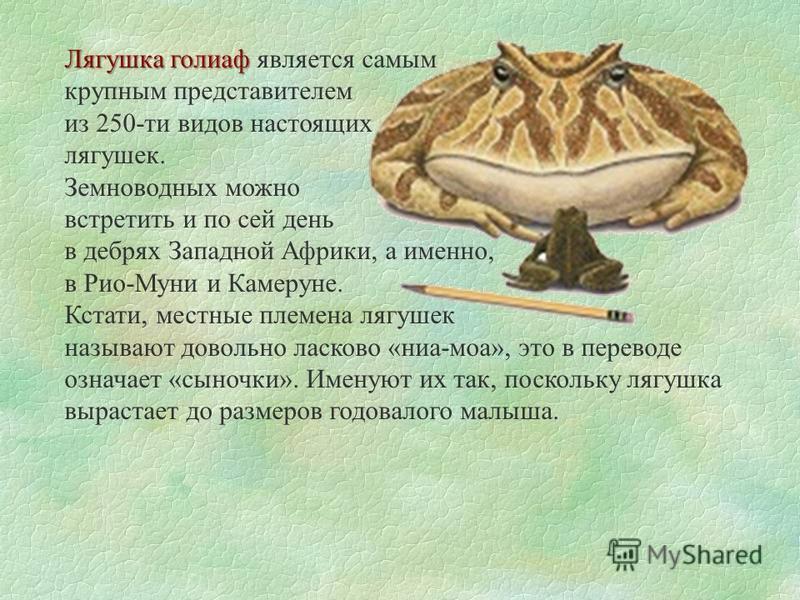 Лягушка голиаф Лягушка голиаф является самым крупным представителем из 250-ти видов настоящих лягушек. Земноводных можно встретить и по сей день в дебрях Западной Африки, а именно, в Рио-Муни и Камеруне. Кстати, местные племена лягушек называют довол