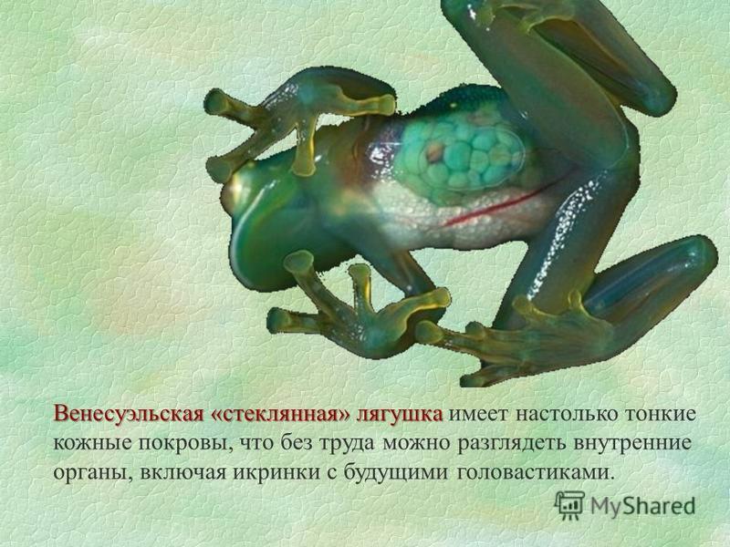 Венесуэльская «стеклянная» лягушка Венесуэльская «стеклянная» лягушка имеет настолько тонкие кожные покровы, что без труда можно разглядеть внутренние органы, включая икринки с будущими головастиками.
