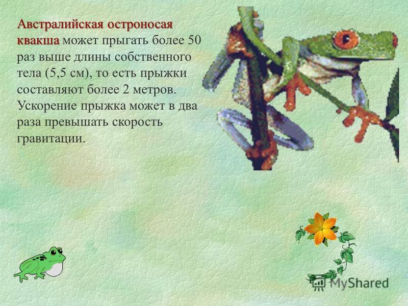Австралийская остроносая квакша Австралийская остроносая квакша может прыгать более 50 раз выше длины собственного тела (5,5 см), то есть прыжки составляют более 2 метров. Ускорение прыжка может в два раза превышать скорость гравитации.