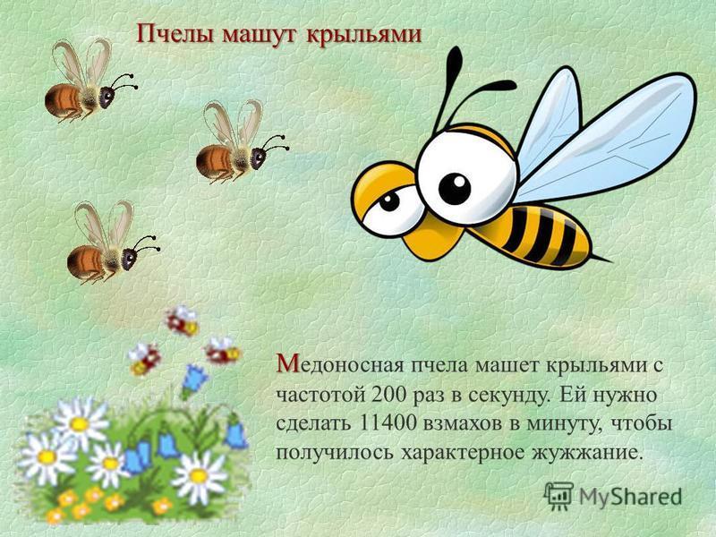 Пчелы машут крыльями М М едоносная пчела машет крыльями с частотой 200 раз в секунду. Ей нужно сделать 11400 взмахов в минуту, чтобы получилось характерное жужжание.