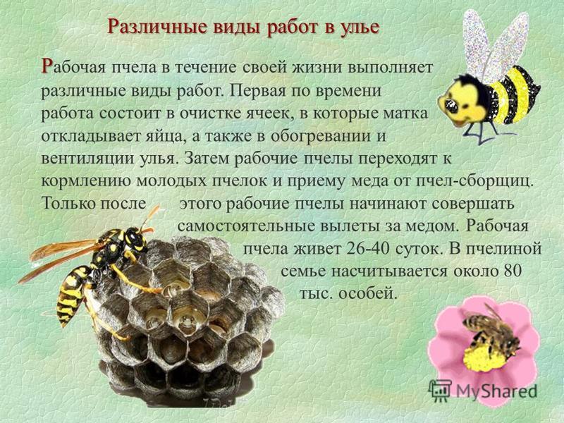 Различные виды работ в улье Р Р абочая пчела в течение своей жизни выполняет различные виды работ. Первая по времени работа состоит в очистке ячеек, в которые матка откладывает яйца, а также в обогревании и вентиляции улья. Затем рабочие пчелы перехо