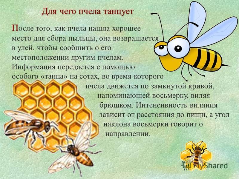 Для чего пчела танцует П П осле того, как пчела нашла хорошее место для сбора пыльцы, она возвращается в улей, чтобы сообщить о его местоположении другим пчелам. Информация передается с помощью особого «танца» на сотах, во время которого пчела движет