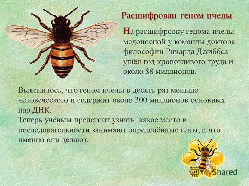 Расшифрован геном пчелы Н Н а расшифровку генома пчелы медоносной у команды доктора философии Ричарда Джиббса ушёл год кропотливого труда и около $8 миллионов. Выяснилось, что геном пчелы в десять раз меньше человеческого и содержит около 300 миллион