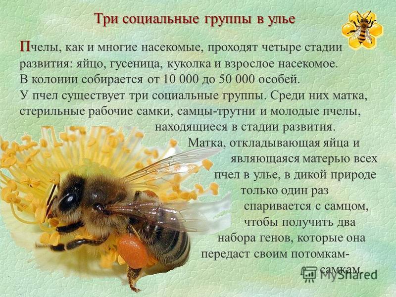 Три социальные группы в улье П П челы, как и многие насекомые, проходят четыре стадии развития: яйцо, гусеница, куколка и взрослое насекомое. В колонии собирается от 10 000 до 50 000 особей. У пчел существует три социальные группы. Среди них матка, с