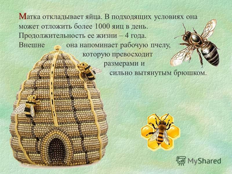 М М атка откладывает яйца. В подходящих условиях она может отложить более 1000 яиц в день. Продолжительность ее жизни – 4 года. Внешне она напоминает рабочую пчелу, которую превосходит размерами и сильно вытянутым брюшком.