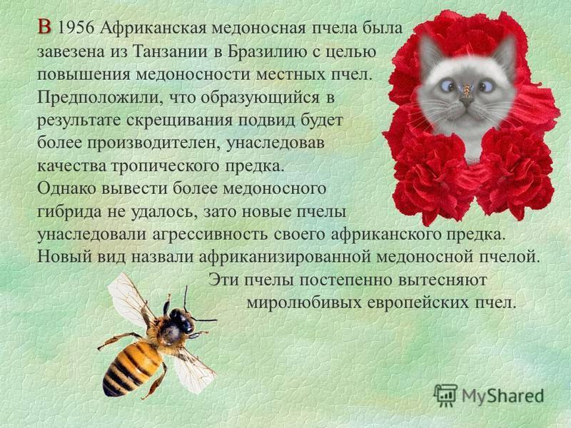 В В 1956 Африканская медоносная пчела была завезена из Танзании в Бразилию с целью повышения медоносности местных пчел. Предположили, что образующийся в результате скрещивания подвид будет более производителен, унаследовав качества тропического предк