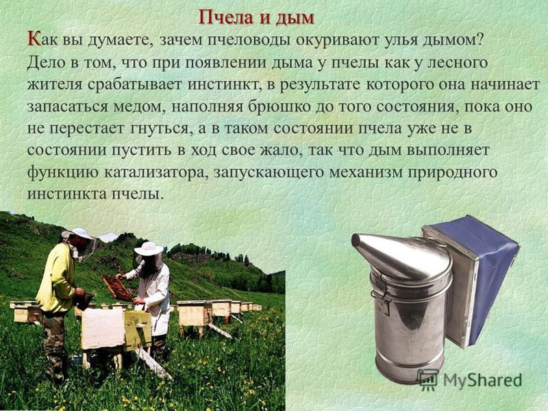 Пчела и дым К К ак вы думаете, зачем пчеловоды окуривают улья дымом? Дело в том, что при появлении дыма у пчелы как у лесного жителя срабатывает инстинкт, в результате которого она начинает запасаться медом, наполняя брюшко до того состояния, пока он