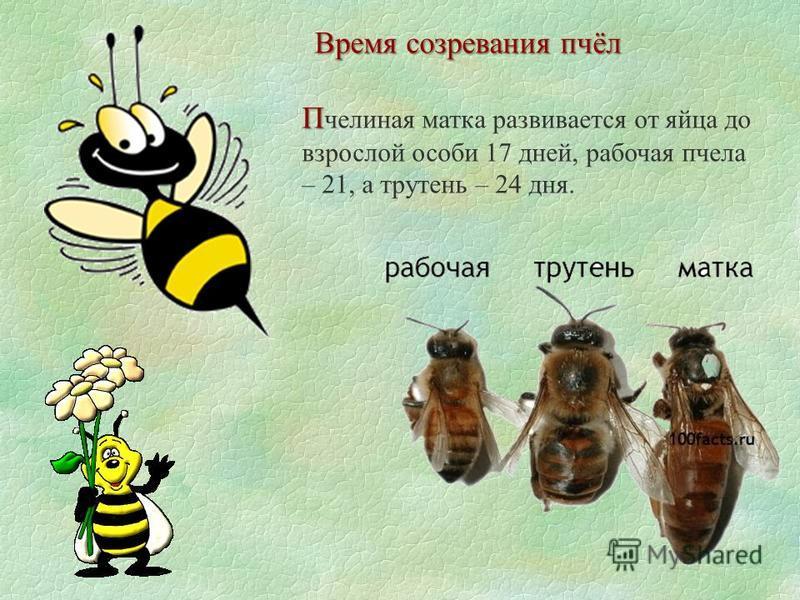 Время созревания пчёл П П челиная матка развивается от яйца до взрослой особи 17 дней, рабочая пчела – 21, а трутень – 24 дня.