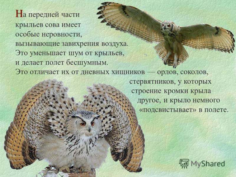 Н Н а передней части крыльев сева имеет особые неровности, вызывающие завихрения воздуха. Это уменьшает шум от крыльев, и делает полет бесшумным. Это отличает их от дневных хищников орлов, соколов, стервятников, у которых строение кромки крыла другое