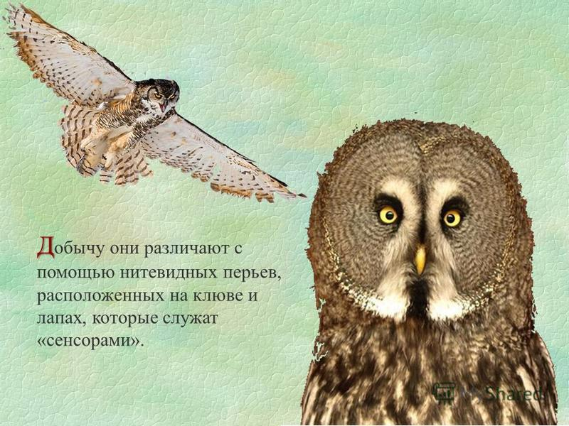 Д Д обычу они различают с помощью нитевидных перьев, расположенных на клюве и лапах, которые служат «сенсорами».