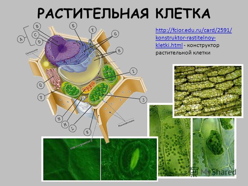РАСТИТЕЛЬНАЯ КЛЕТКА http://fcior.edu.ru/card/2591/ konstruktor-rastitelnoy- kletki.htmlhttp://fcior.edu.ru/card/2591/ konstruktor-rastitelnoy- kletki.html - конструктор растительной клетки