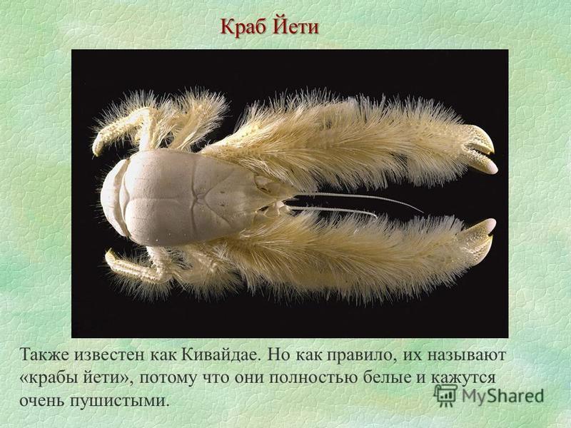 Краб Йети Также известен как Кивайдае. Но как правило, их называют «крабы йети», потому что они полностью белые и кажутся очень пушистыми.