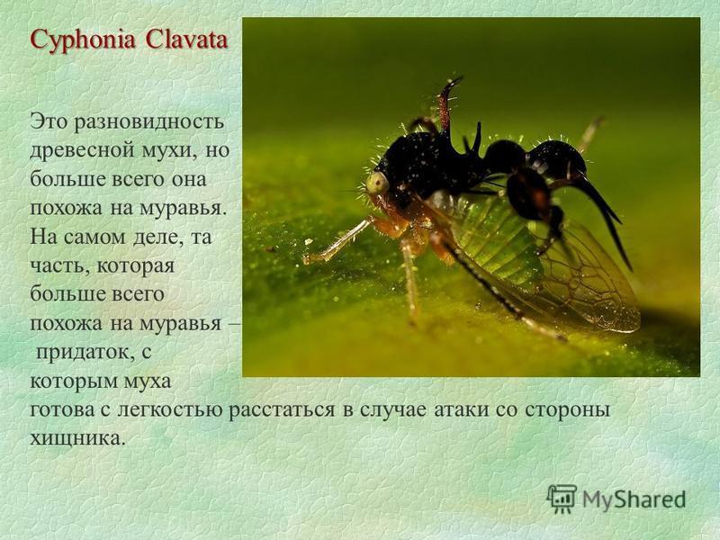 Cyphonia Clavata Это разновидность древесной мухи, но больше всего она похожа на муравья. На самом деле, та часть, которая больше всего похожа на муравья – придаток, с которым муха готова с легкостью расстаться в случае атаки со стороны хищника.