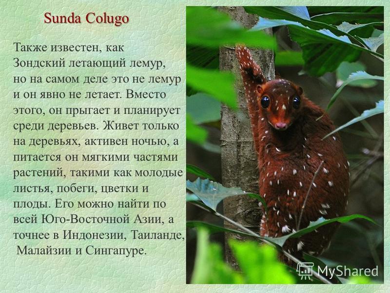 Sunda Colugo Также известен, как Зондский летающий лемур, но на самом деле это не лемур и он явно не летает. Вместо этого, он прыгает и планирует среди деревьев. Живет только на деревьях, активен ночью, а питается он мягкими частями растений, такими