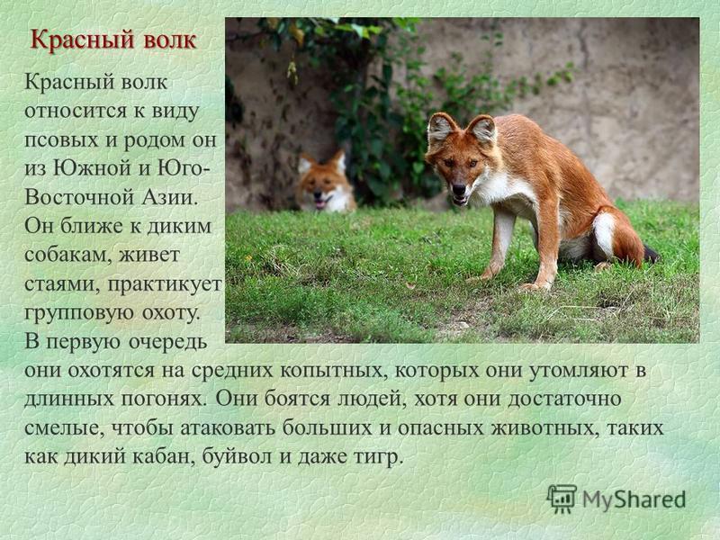 Красный волк относится к виду псовых и родом он из Южной и Юго- Восточной Азии. Он ближе к диким собакам, живет стаями, практикует групповую охоту. В первую очередь они охотятся на средних копытных, которых они утомляют в длинных погонях. Они боятся